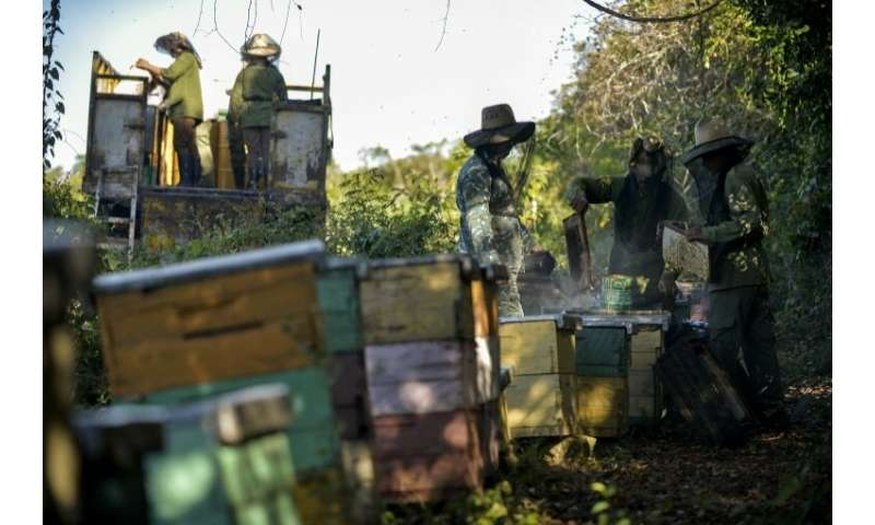 Beekeepers work at an apiary in Navajas, Matanzas province, Cuba, harvesting honey for export