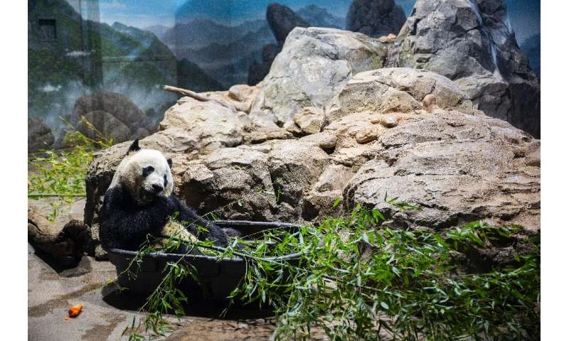 Bei Bei munches bamboo in his enclosure at the National Zoo in the US capital ahead of his long flight to China