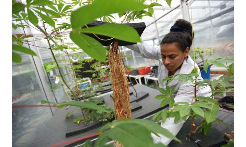 Beyond 'shovelomics': Growing cassava in the air helps study the plant's mysterious roots