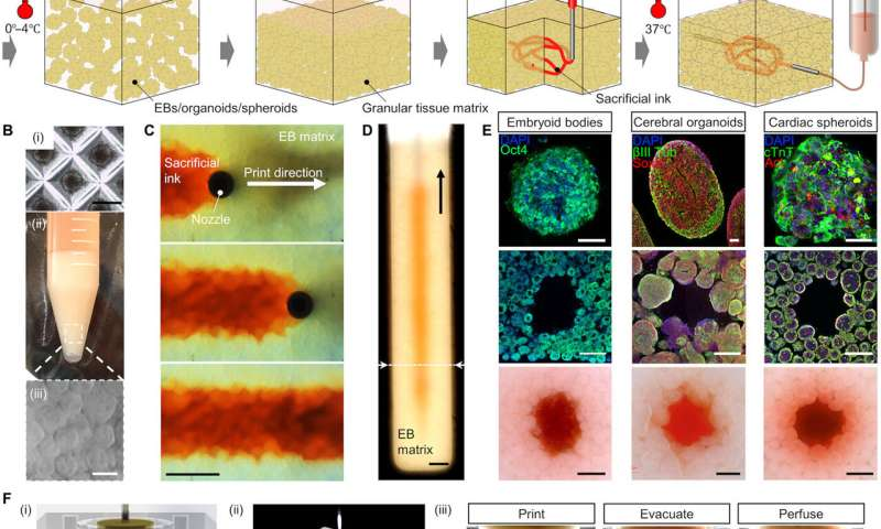 Bioengineering organ-specific tissues with high cellular density and embedded vascular channels.