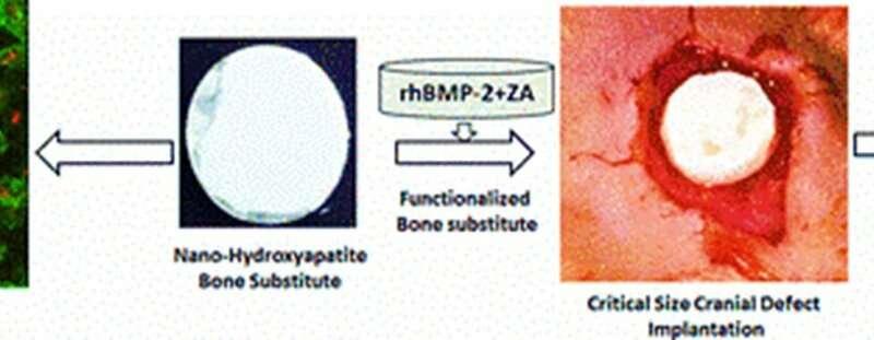 Biofunctionalized ceramics for cranial bone defect repair – in vivo study
