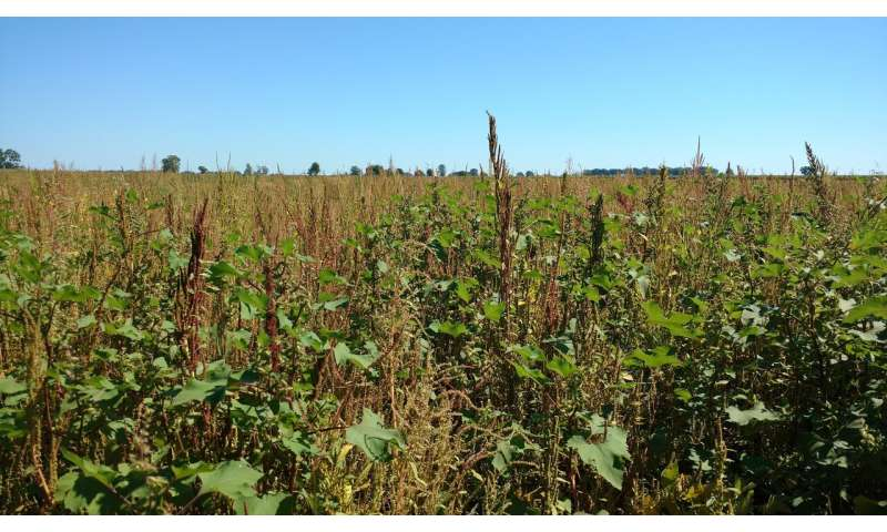 Biologists track the invasion of herbicide-resistant weeds into southwestern Ontario