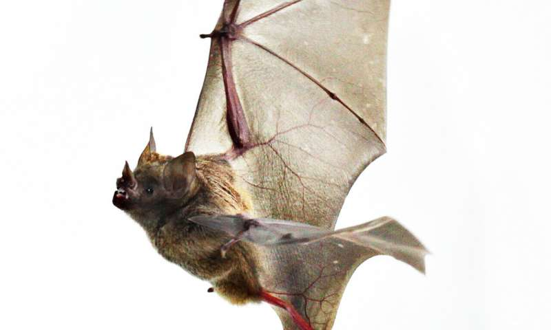 Biology of bat wings may hold lessons for cold-weather work, exercise