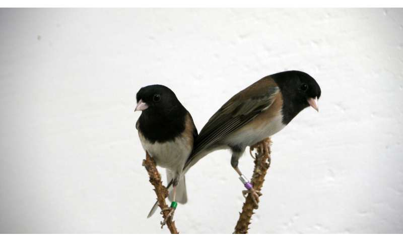 Bird bacteria is key to communication and mating