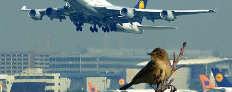 Birds around airports may be deaf and more aggressive
