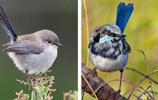 Birds balance sexiness and predator avoidance by changing colour