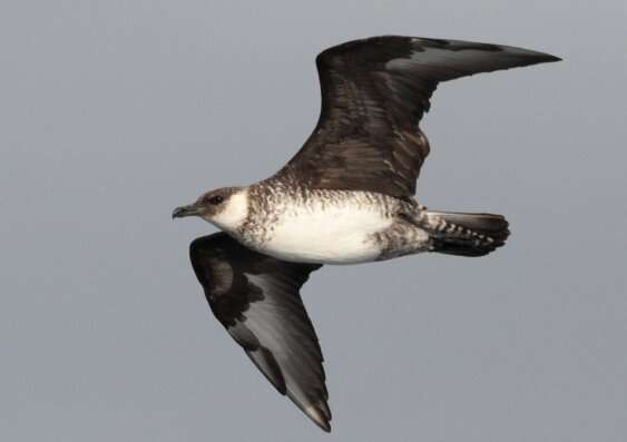 Birdwatchers highlight declines of seabirds off south-eastern Australia