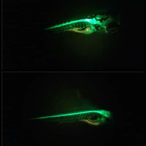 Boosting the discovery of new drugs to treat spinal cord injuries using zebrafish
