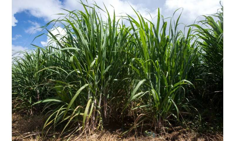 Brazil is the world's largest sugarcane producer, with more than 10 million hectares (24.7 million acres) planted in 2018
