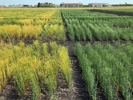 Breeders release new flaxseed cultivar with higher yield
