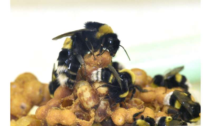 Bumble bee workers sleep less while caring for young