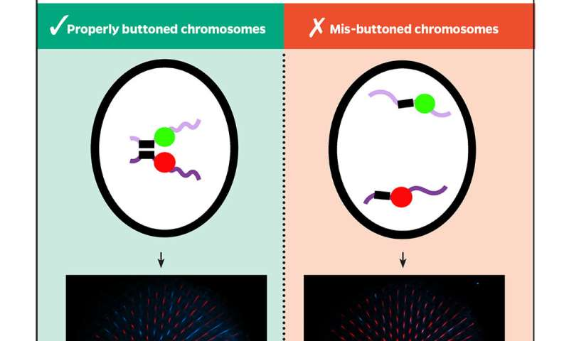 Buttons and flies help biologists solve longtime DNA mystery