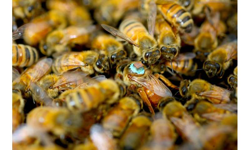 Buzzkill? Male honeybees inject queens with blinding toxins during sex