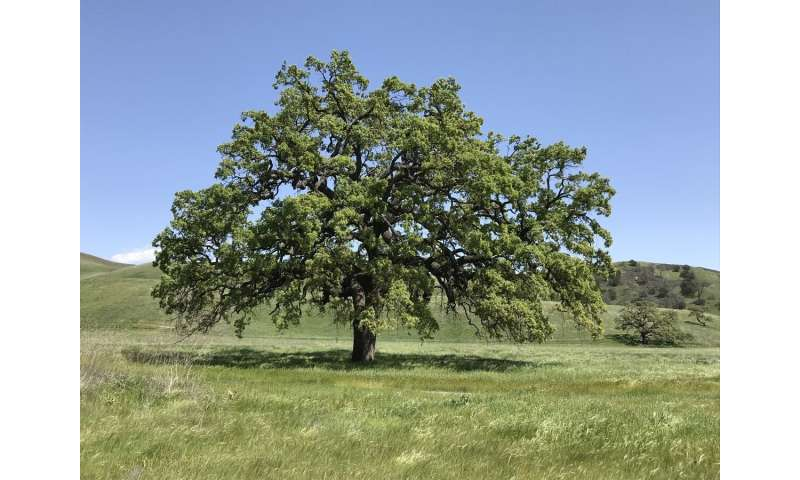 California's valley oak is poorly adapted to rising temperatures, study finds