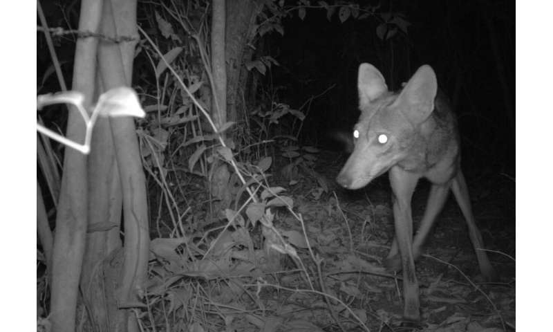 Camera traps show coyotes on the doorstep of South America
