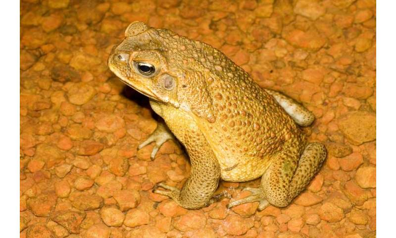 Cane toad testes smaller at the invasion front