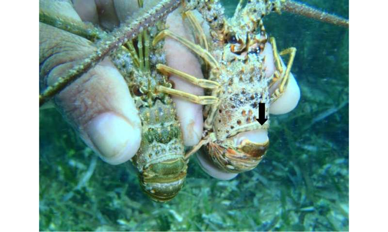 Caribbean seagrass is awash with infected lobsters – but the habitat could be saving the species