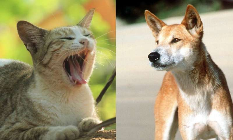 Cats are not scared off by dingoes. We must find another way to protect Australian animals