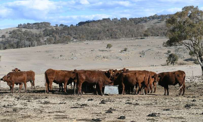 Cattle feeding on a drought-affected farm near Armidale in regional New South Wales