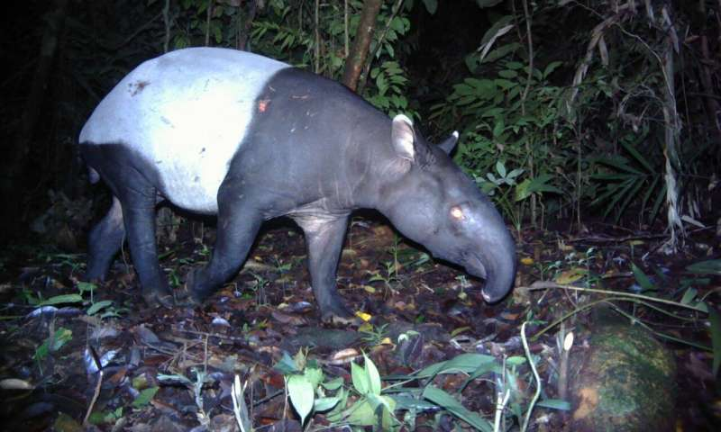 Caught in the crossfire – Tapirs in tiger territory