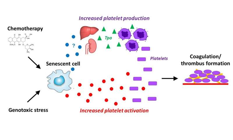 Cellular senescence is associated with age-related blood clots