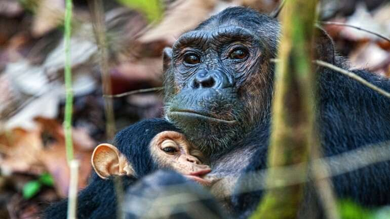 Chimpanzee 'mini-brains' hint at secrets of human evolution