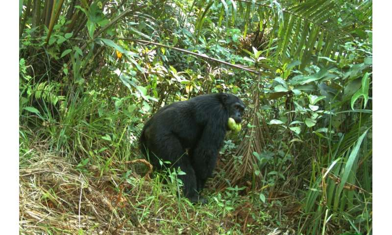 Chimpanzees at the crossroads: adapt to living outside protected areas