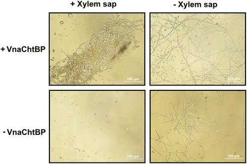Chitin-binding proteins override host plant's resistance to fungal infection