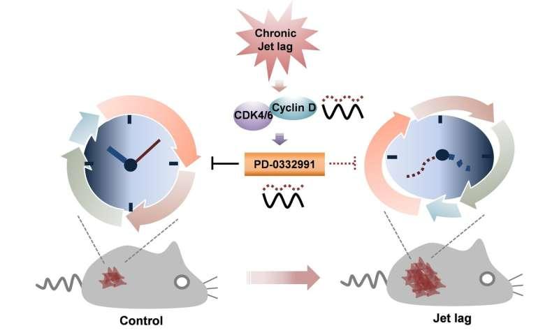 Circadian rhythm disruption tips the cell-cycle balance toward tumor growth