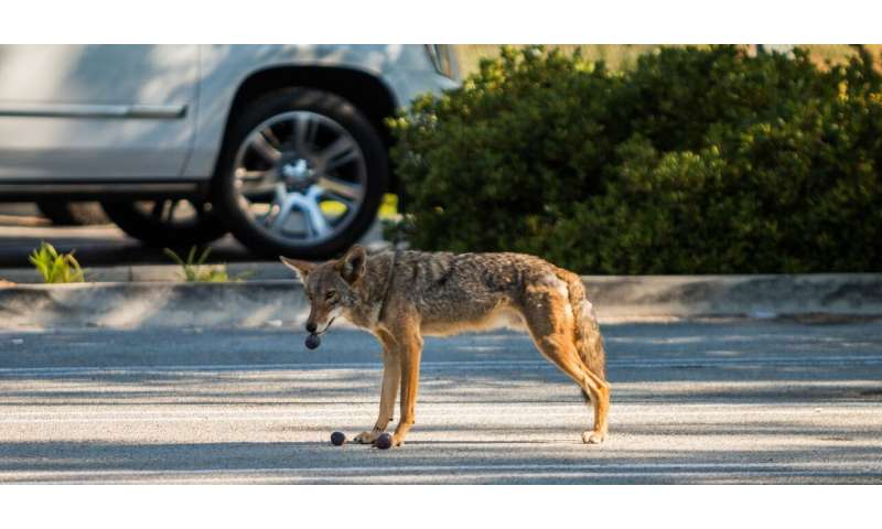 City coyotes' poor diets could make them more aggressive, study suggests