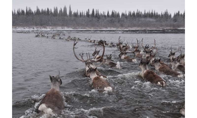 Climate cycles and insect pests drive migration timing of reindeer's North American cousin