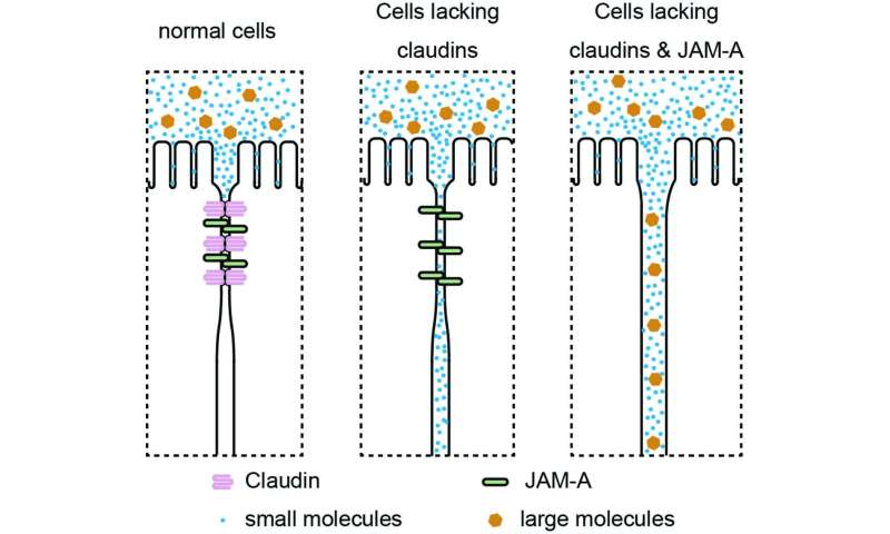 Closing the gap -- a two-tier mechanism for epithelial barrier