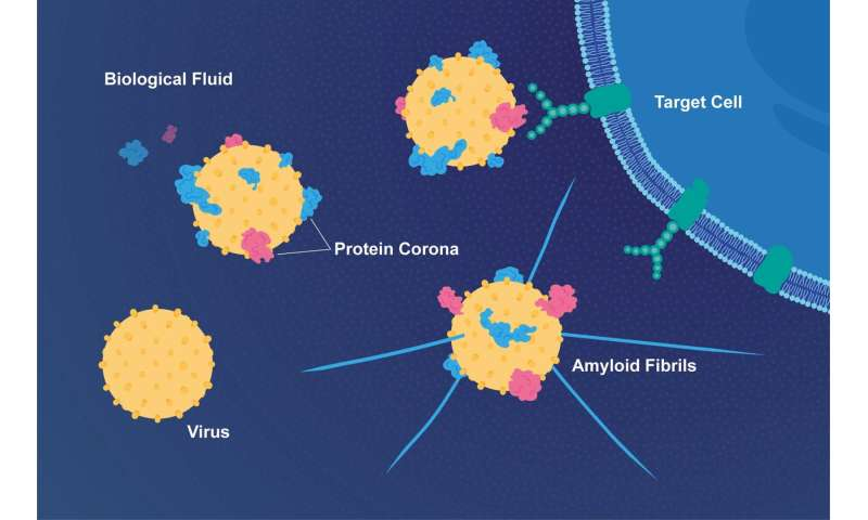 Coat of proteins makes viruses more infectious and links them to Alzheimer's disease