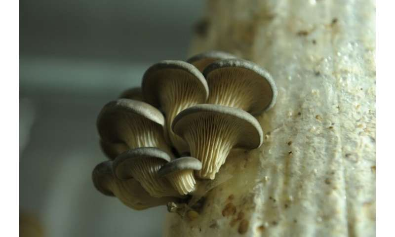 Coffee-nourished mushrooms sometimes make it onto the menu of cafes that earlier provided the grounds to help grow them