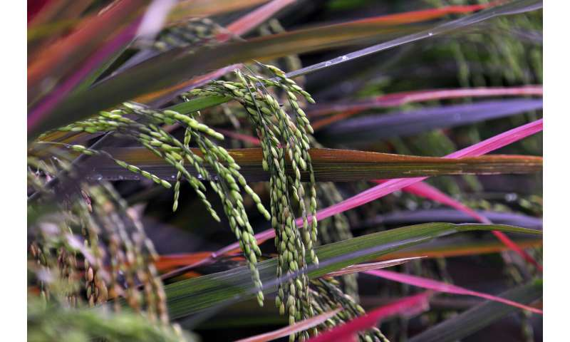 Colombia could lose 60% of land suitable for irrigated rice due to climate change