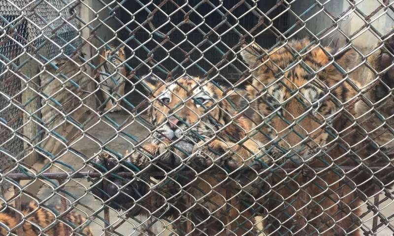 Comment: lion and tiger farming may not be cause of increased poaching