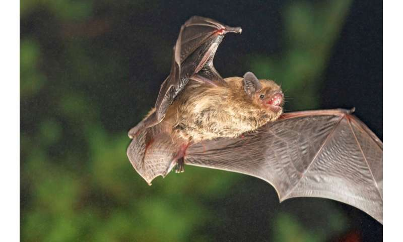 Compass orientation of a migratory bat species depends on sunset direction