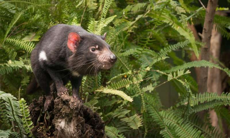 Could Tassie devils help control feral cats on the mainland? Fossils say yes