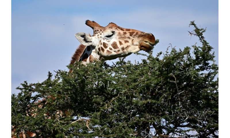 Countries in western, central and eastern Africa have seen their giraffe populations particulary hard hit