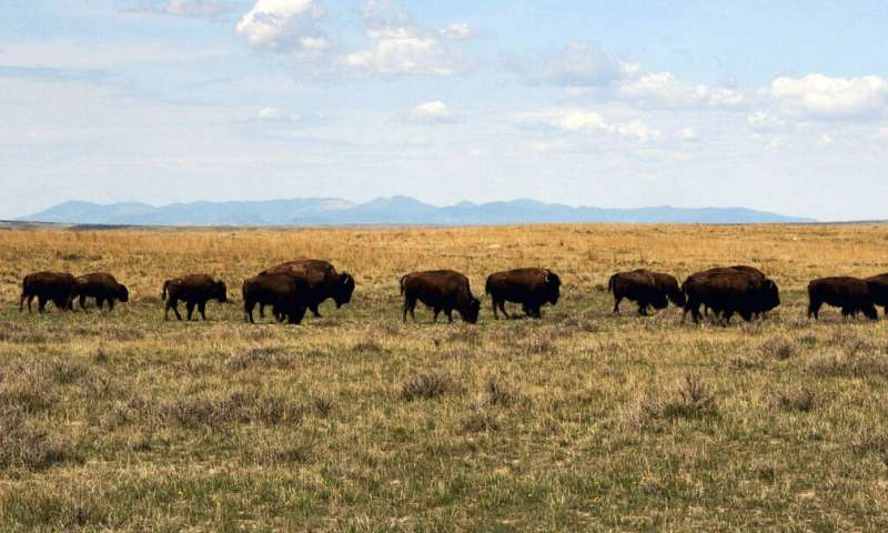 Court fight could affect future of bison in Montana