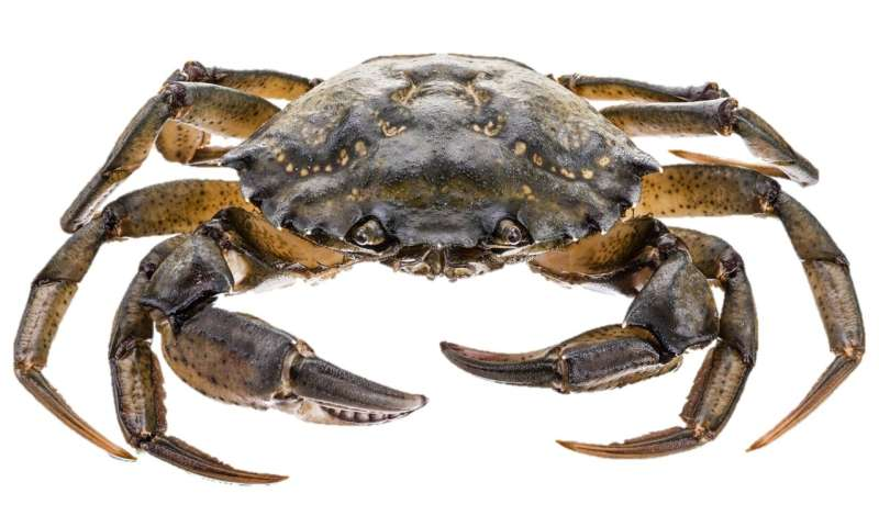 Crab disease poses threat to shellfish stocks