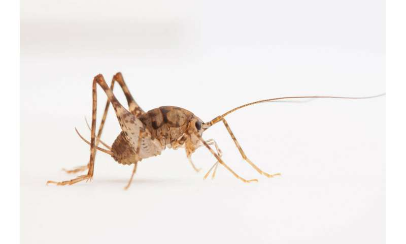 Cricket bacteria break down lignin, highlighting ecology's utility in applied R&D