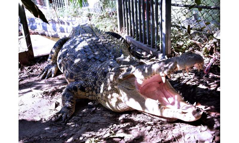 Crocodile attacks have jumped more than 20-fold over the past two decades in East Timor, with an average of one person a month f