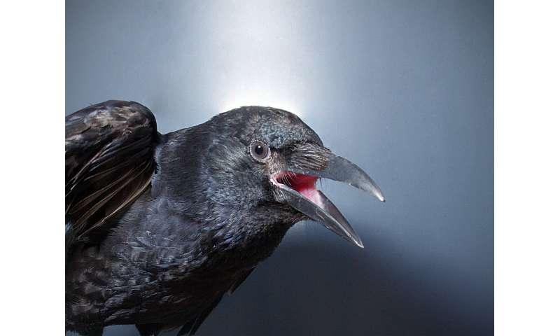Crows consciously control their calls