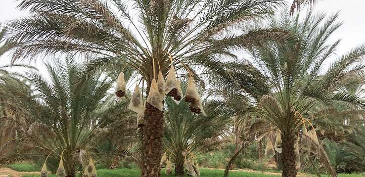 Date palms picky about bacterial partners