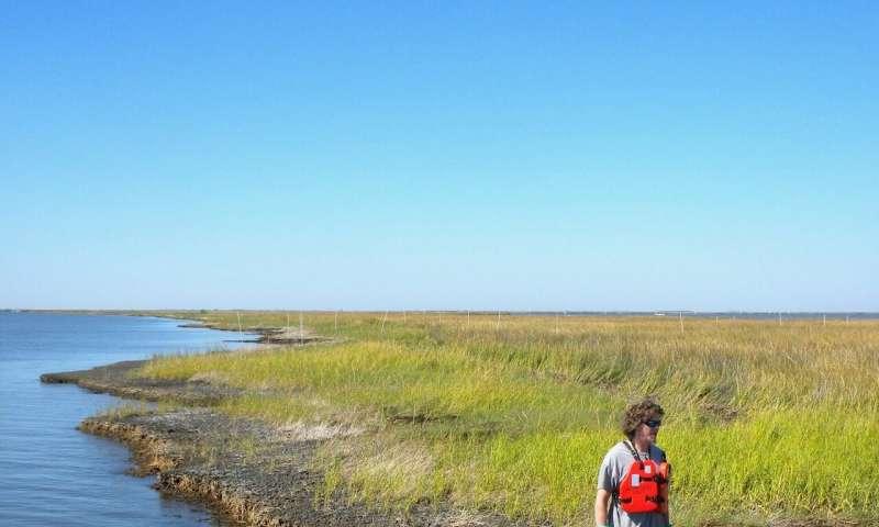 Dead roots double shoreline loss in gulf