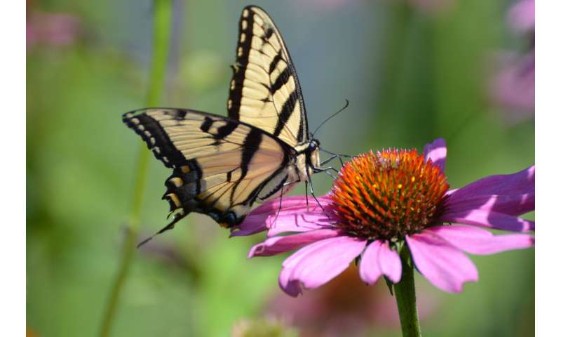 Decades-long butterfly study shows common species on the decline