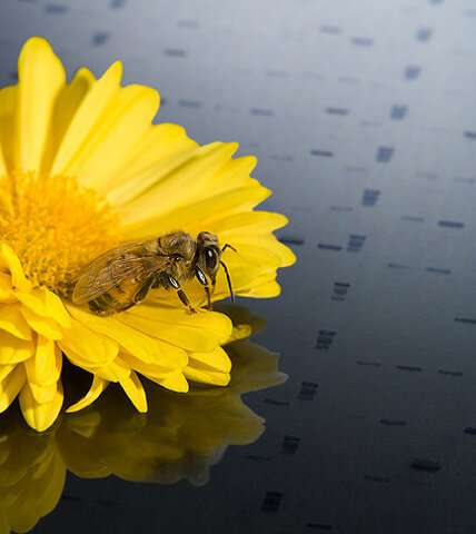 Deformed wing virus genetic diversity in US honey bees complicates search for remedies