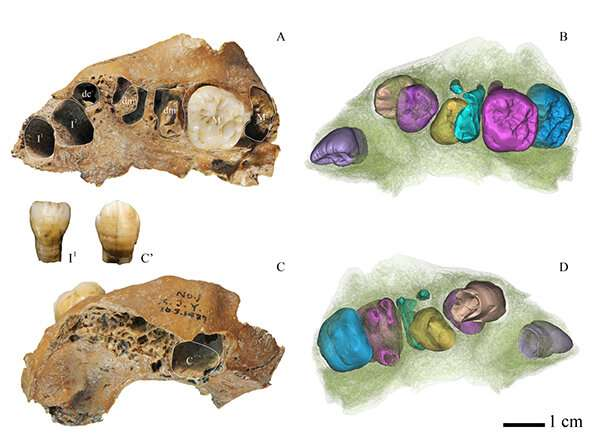 Dental study of juvenile archaic Homo< fossil gives clues about human development
