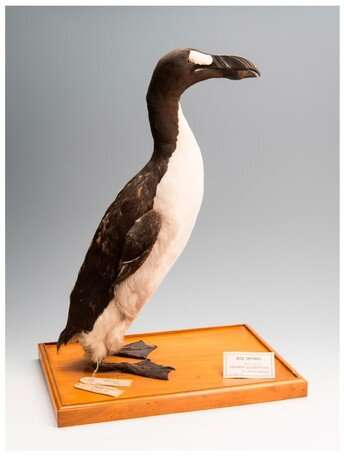 Did human hunting activities alone drive great auks' extinction?